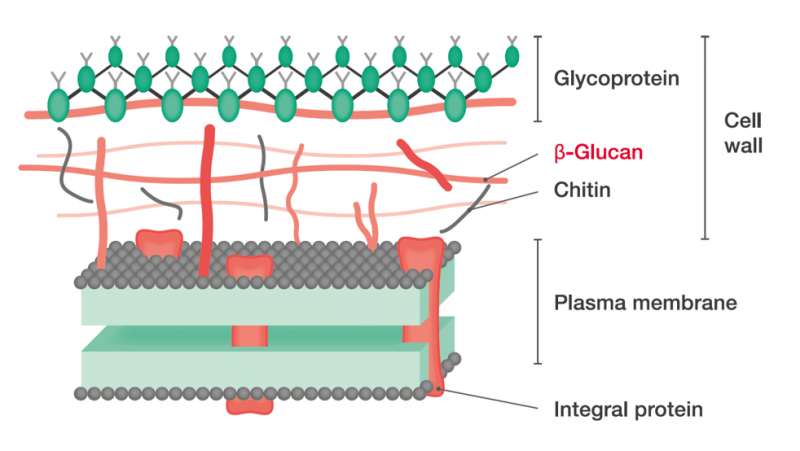 Fig.1: Scheme of fungal cell wall